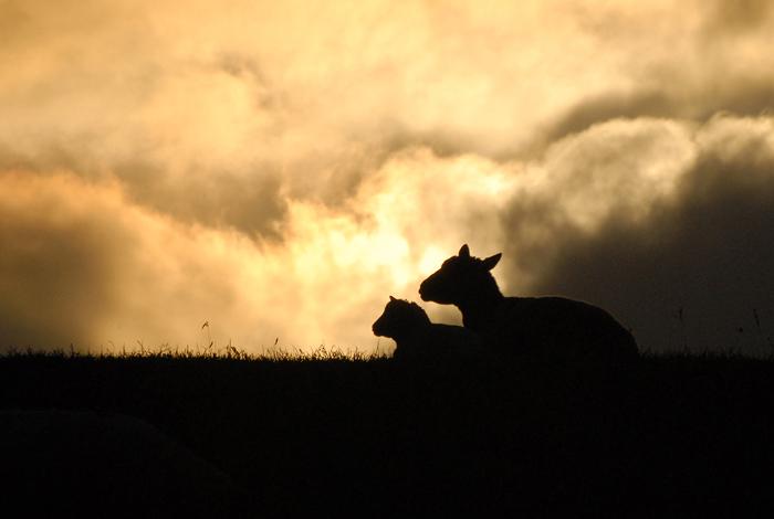 schapen-site-1