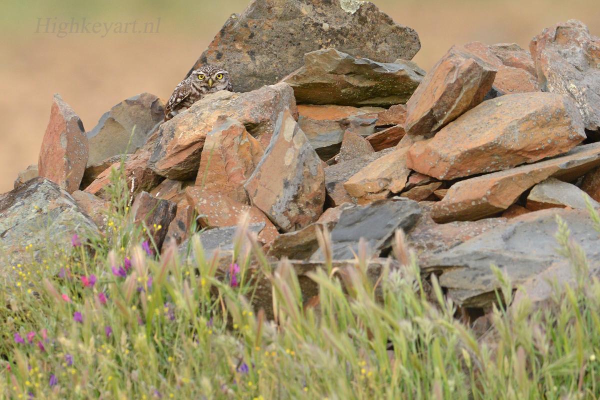 steenuil stenen uil